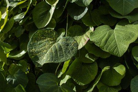 Photo pour Vue de près des feuilles vertes avec lumière du soleil - image libre de droit