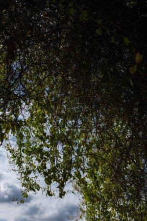Photo pour Rameaux d'arbres avec feuillage vert et ciel nuageux à l'arrière-plan - image libre de droit