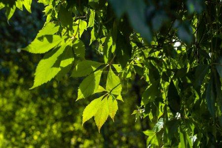 Photo pour Vue de près des feuilles de raisin sauvage au soleil - image libre de droit