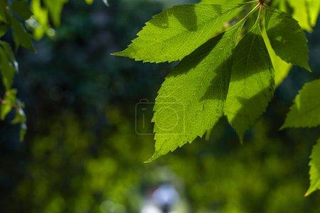 Photo pour Vue de près des feuilles vertes avec soleil et ombre - image libre de droit