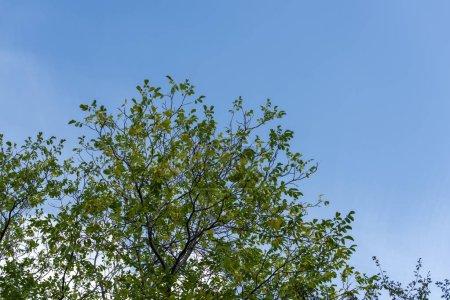 Photo pour Vue à faible angle des arbres avec feuilles vertes et ciel bleu à l'arrière-plan - image libre de droit