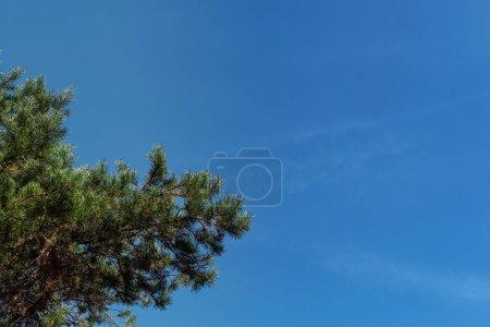 Foto de Vista inferior de las ramas de árboles perennes con cielo azul a fondo. - Imagen libre de derechos