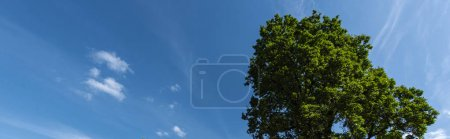 Photo for Low angle view of cypress and blue sky with clouds on background, panoramic shot - Royalty Free Image