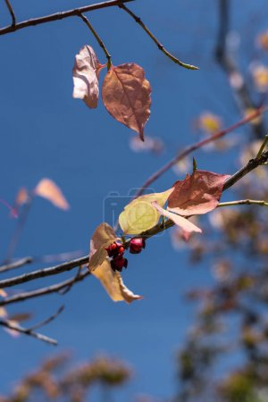 Photo for Close up view of yellow leaves and berries on branches with blue sky at background - Royalty Free Image