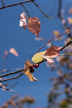 Photo pour Vue rapprochée des feuilles jaunes et des baies sur les branches avec un ciel bleu à l'arrière-plan - image libre de droit