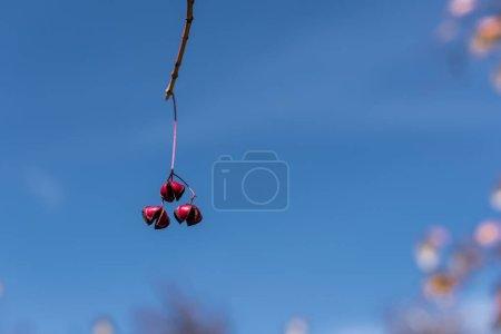Photo pour Vue rapprochée des baies rouges sur la branche avec un ciel bleu en arrière-plan - image libre de droit