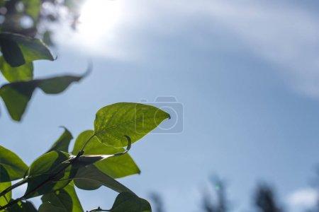 Photo pour Vue rapprochée des feuilles vertes au soleil avec un ciel bleu à l'arrière-plan - image libre de droit