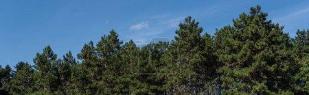 Photo pour Photo panoramique de sapins avec ciel bleu en arrière-plan - image libre de droit