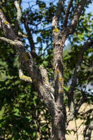 Photo pour Vue rapprochée de la mousse sur le tronc d'arbre avec ciel bleu à l'arrière-plan - image libre de droit