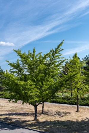 Photo for Evergreen trees with blue sky at background - Royalty Free Image
