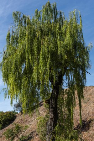 Photo for Green willow tree on hill and blue sky at background - Royalty Free Image