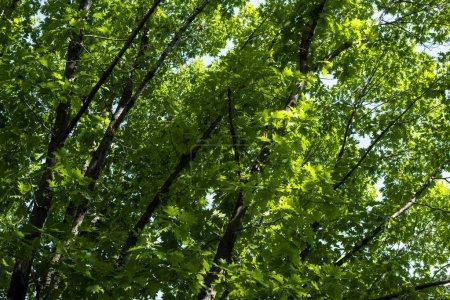 Photo pour Feuillage vert sur les branches des arbres en été - image libre de droit