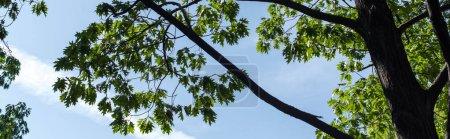 Photo pour Vue du bas des feuilles d'érable vertes avec ciel bleu à l'arrière-plan, photo panoramique - image libre de droit