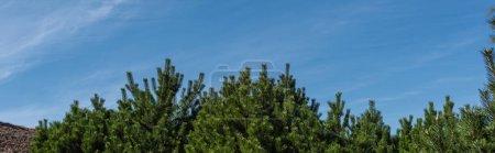 Photo pour Sapin avec ciel bleu en arrière-plan, photo panoramique - image libre de droit