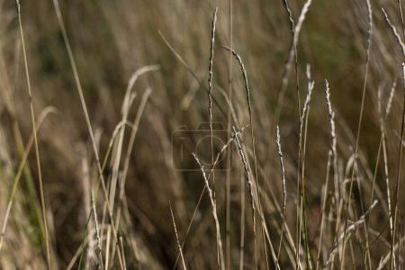 Photo for Close up view of wheat stems in field - Royalty Free Image