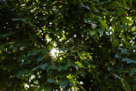 Photo pour La lumière du soleil dans les feuilles vertes de l'arbre en été - image libre de droit