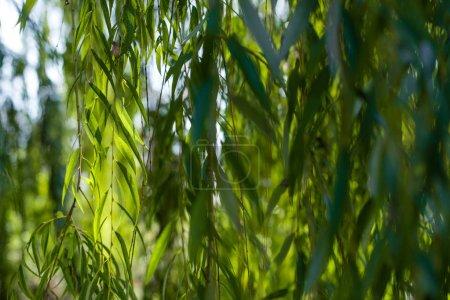 Photo pour Vue de près des branches de saule exposées au soleil - image libre de droit