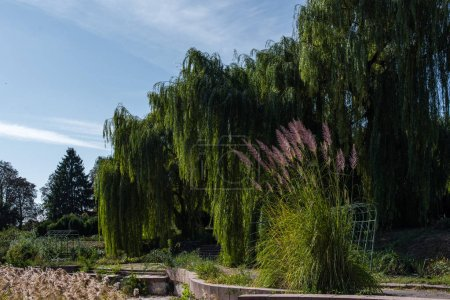 Photo for Feather reed grass against green trees and blue sky at background - Royalty Free Image
