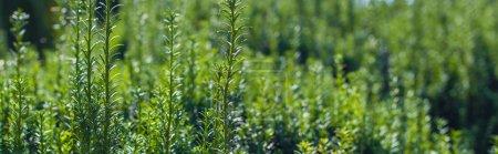 Photo pour Vue de près des branches vertes du buisson, photo panoramique - image libre de droit