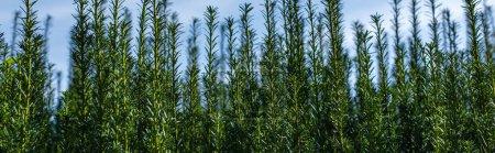 Photo pour Branches vertes de buisson avec ciel nuageux à l'arrière-plan, vue panoramique - image libre de droit