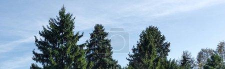 Photo pour Photo panoramique de sapins et de ciel bleu avec des nuages en arrière-plan - image libre de droit