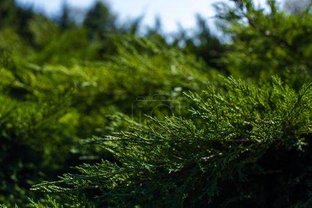 Photo pour Vue de près des branches de genévrier vert exposées au soleil - image libre de droit