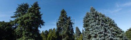 Foto de Vista de bajo ángulo de los árboles de abeto con cielo azul en segundo plano, tiro panorámico. - Imagen libre de derechos