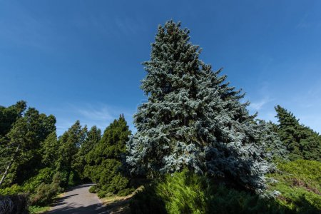 Photo pour Low angle view of fir and pine trees with blue sky at background - image libre de droit
