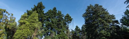 Photo pour Low angle view of fir and pine trees with blue sky at background, panoramic shot - image libre de droit