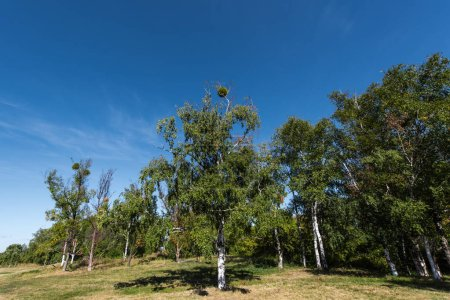 Photo pour Bouleaux à feuilles vertes sur herbe avec ciel bleu en arrière-plan - image libre de droit