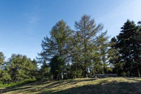 Photo pour Pins sur pelouse verte avec soleil et ciel bleu en arrière-plan - image libre de droit