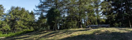 Photo for Pine trees on green lawn with sunlight and blue sky at background, panoramic shot - Royalty Free Image