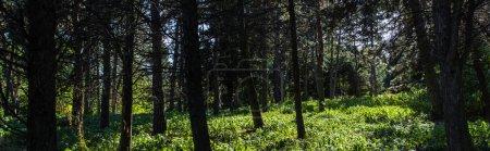 Photo pour Arbres et herbe verte avec soleil en forêt, vue panoramique - image libre de droit