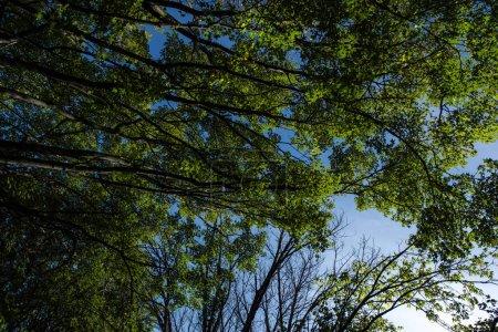 Photo pour Vue du bas des arbres avec feuillage vert et ciel bleu à l'arrière-plan - image libre de droit