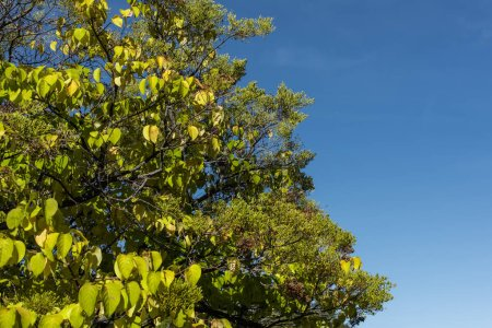 Photo for Low angle view of autumnal trees with blue sky at background - Royalty Free Image