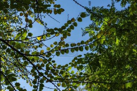 Photo pour Vue du bas des branches avec feuilles vertes et ciel bleu à l'arrière-plan - image libre de droit
