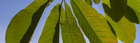 Photo for Green leaves with blue sky at background, panoramic shot - Royalty Free Image
