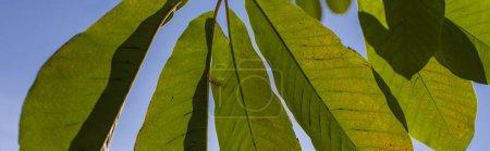 Photo pour Feuilles vertes avec ciel bleu à l'arrière-plan, panoramique - image libre de droit