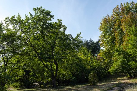 Photo pour Trees with green foliage on grass with blue sky at background - image libre de droit