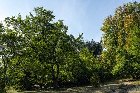 Photo pour Arbres avec feuillage vert sur herbe avec ciel bleu en arrière-plan - image libre de droit