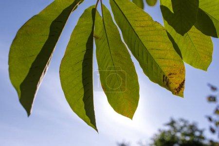Photo pour Vue rapprochée des feuilles vertes avec un ciel bleu en arrière-plan - image libre de droit