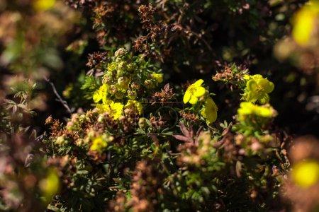 Photo pour Concentration sélective des fleurs jaunes avec feuilles - image libre de droit