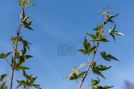 Photo pour Branches d'érable avec feuilles vertes avec ciel bleu à l'arrière-plan - image libre de droit