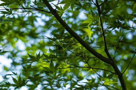 """Photo pour Vue de près du feuillage de l """"érable vert avec ciel bleu en arrière-plan - image libre de droit"""