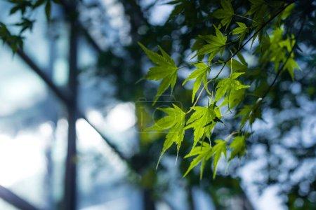 Foto de Cerrar la vista del follaje de arce verde con luz solar. - Imagen libre de derechos
