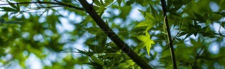 """Photo pour Vue de près du feuillage de l """"érable vert avec ciel bleu en arrière-plan, photo panoramique - image libre de droit"""