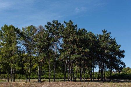 Photo pour Arbres à feuillage persistant sur herbe avec ciel bleu en arrière-plan - image libre de droit