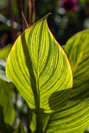 Photo pour Feuilles vertes avec lignes jaunes et lumière du soleil - image libre de droit