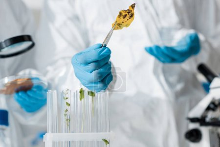 selective focus of biologist holding leaf with tweezers in lab