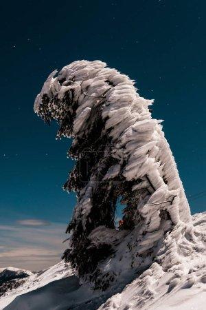 Photo pour Pin couvert de neige sur la montagne contre le ciel sombre en soirée - image libre de droit